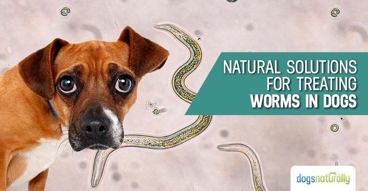 Would you know if your dog had worms? There are several types of intestinal worms your dog can get, and different types of worms can affect your dog in different ways. The good news is, there are natural, safe ways to get rid of worms, without resorting tochemicaldewormers like Panacur. But before you think …