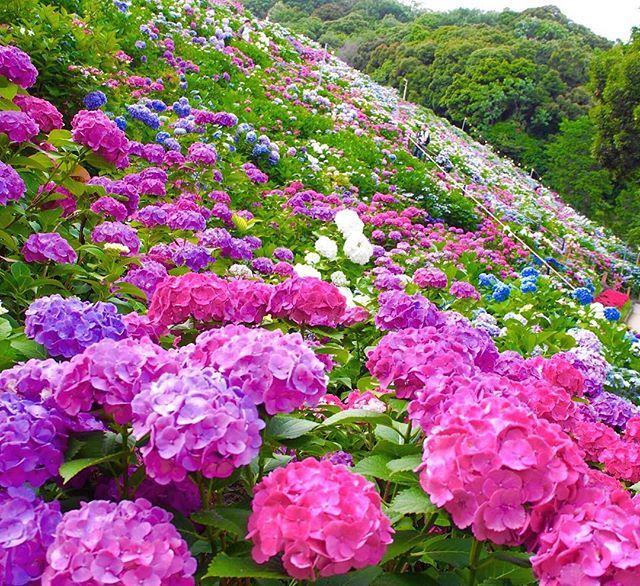 #形原温泉あじさいの里#あじさいの里 #形原温泉#あじさい#アジサイ#紫陽花 #花#蒲郡 #Hydrangea#flower #pink#purple#lightblue#white#color #gamagori#katahara#japan #June2016