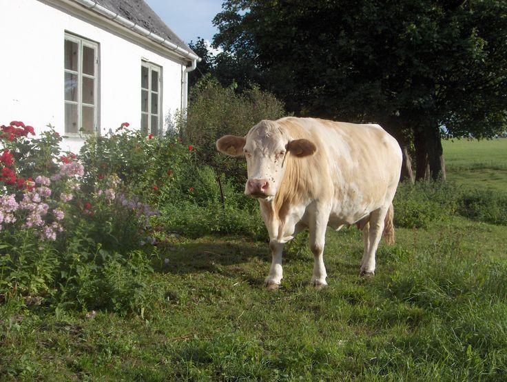 Zweedse koe