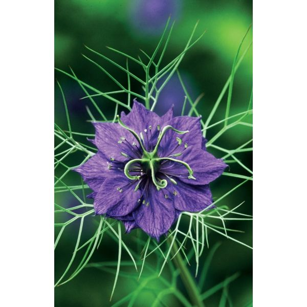 I have just purchased Nigella damascena 'Deep Blue' from Sarah Raven - http://www.sarahraven.com/flowers/seeds/annuals/nigella_damascena_deep_blue.htm