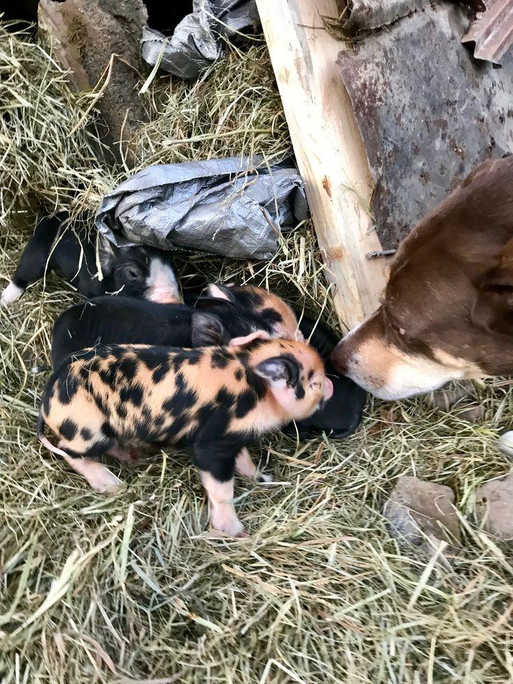 Idaho Pasture Pigs. Raising pigs on the homestead. Homesteading with pigs and piglets.  #homestead #homesteading #pigs