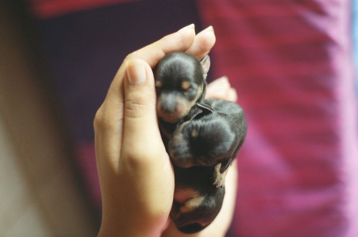 Newly born Min Pins... ~ Miniature Pinscher
