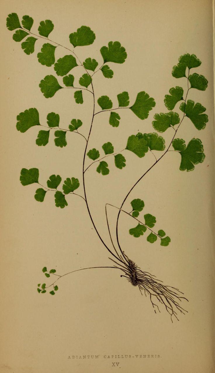 v. 3 - Ferns: British and exotic... - Biodiversity Heritage Library