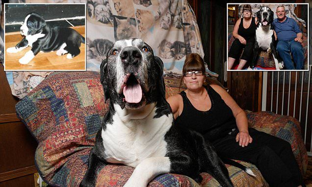 How a tiny 'terrier' turned into THIS 15st Great Dane | Daily Mail Online