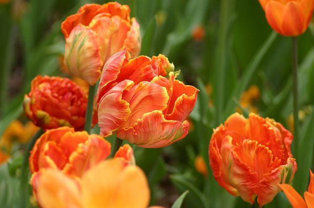 Parrot Tulip Bridal Bouquets