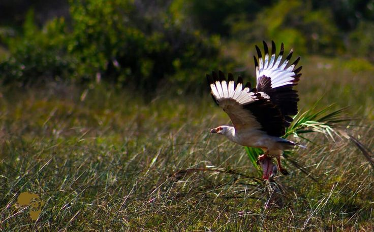 Palm Nut Vulture #offtoafricasafaris
