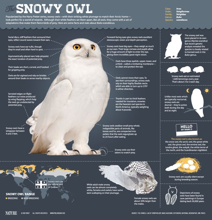How many lemmings does a Snowy #Owl eat daily? #infographic @PBSNature