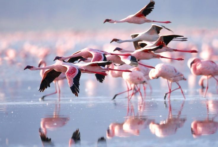 Розовые фламинго на озере Накуру Кения, сафари туры