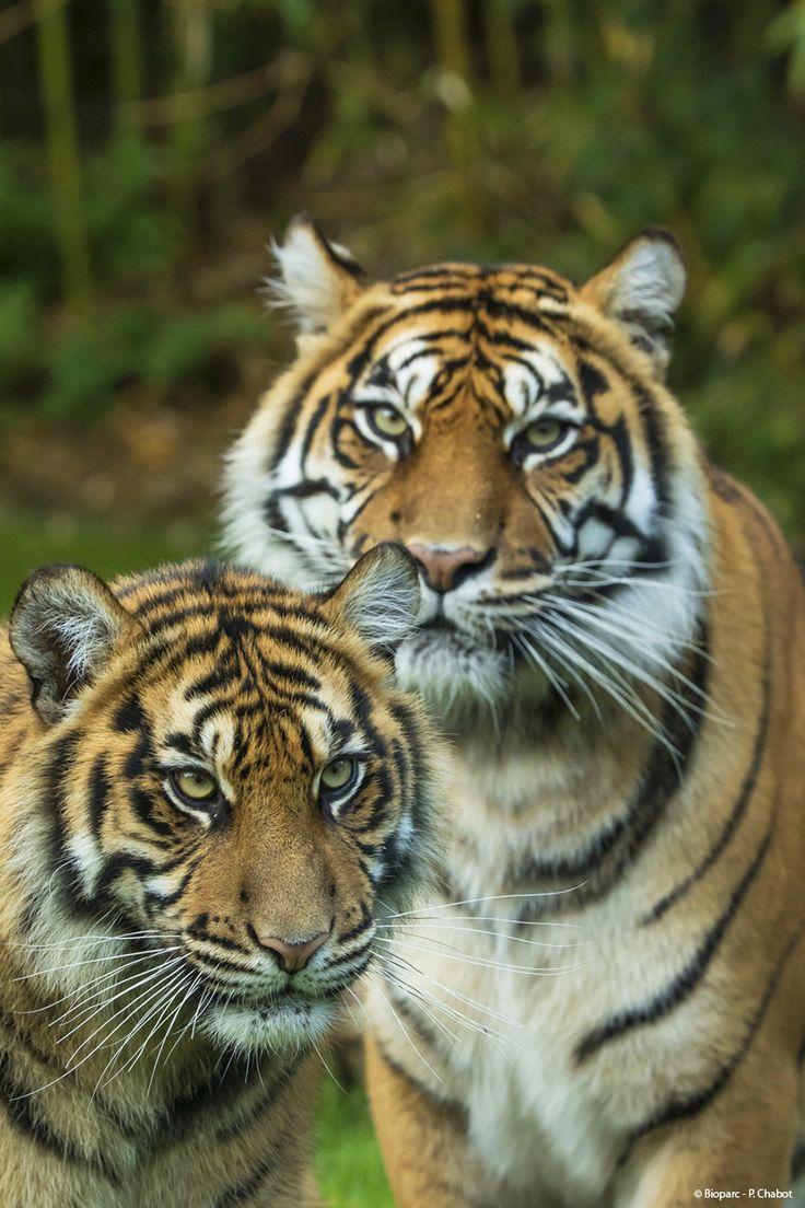 Portraits croisés pour les tigres de Sumatra.