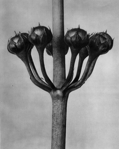 Karl Blossfeldt, Primula japonica, Japanese primrose, fruits