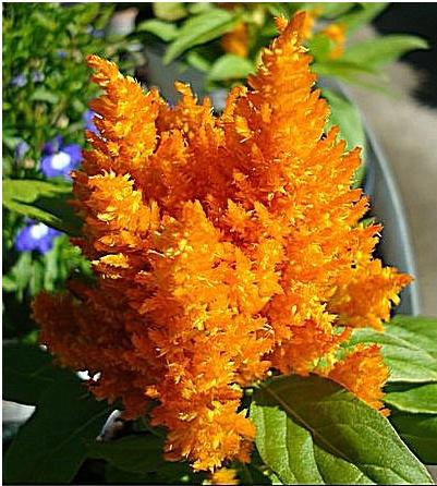 19 best Celosia Naranja images on Pinterest Orange Wedding