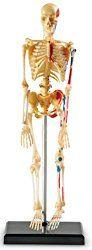 Quand je demande à mes enfants ce que représente Halloween, ils me parlent déguisements, citrouilles, chauve-souris et bonbons. Ils ne me parlent pas trop de squelettes. Et pourtant ;) Je leur ai demandé du coup si ils savaient où se trouvent le tibia, les phalanges et pour qu'ils visualisent mieux les différents os et leur situation dans le corps humain, j'ai ressorti le squelette de Nathan, et j'ai préparé un petit jeu, où il faut reconstruire le squelette humain et un autre pour le…