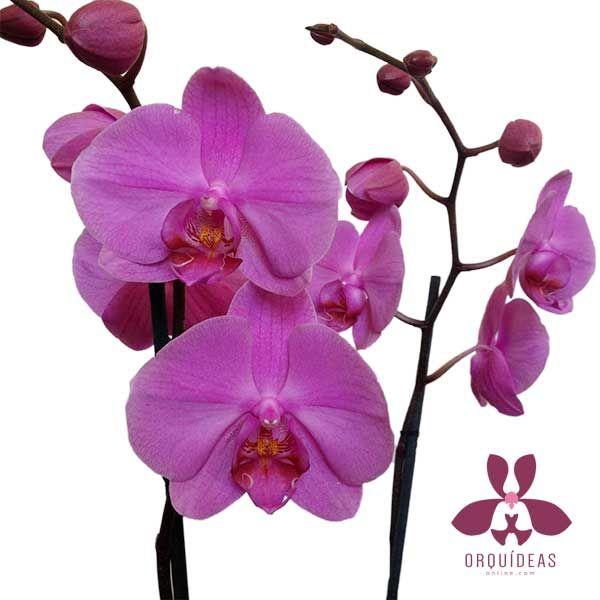 En Orquideas Online enviamos las mejores orquídeas.