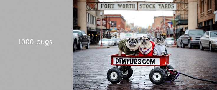 1000 Pugs by Awesome Photographer and Fellow Animal Lover, Amanda.  Check 'em out, please!