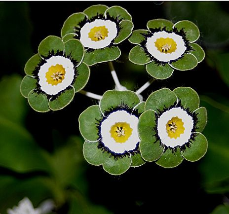 Primrose: Primula auricula 'Zircon' [Family: Primulaceae]auricula