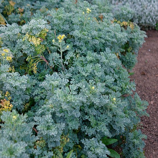 Common Rue Ruta graveolens Rue is an evergreen shrub with an upright, rounded form and cool, ferny blue-green foliage. Clusters of cup-shaped, four-petaled yellow flowers appear in summer. Care: Grow in moderately fertile, very well-drained soil. Thrives in hot, dry sites. Propagation: Root semi-ripe cuttings in summer. Problems: Phytophthora root rot.