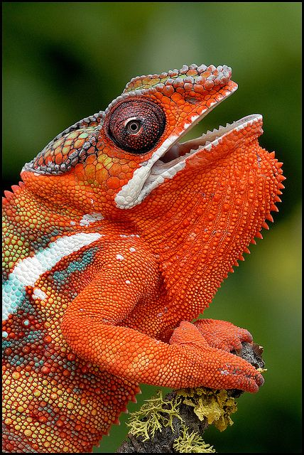 http://coffeenuts.tumblr.com/post/100379516463/tiny-creatures-panther-chameleon-by-animalexplorer