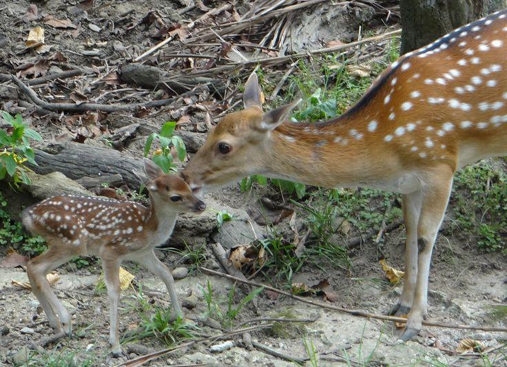 梅花鹿「偉哥」太幸運?同一天做二次爸爸 Two Newborn Formosan Sika Deer