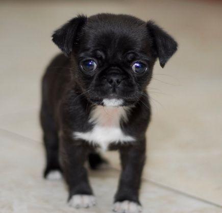Pug and Chihuahua Chug                                                                                                                                                                                 More