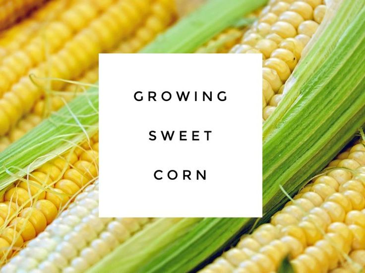 You can buy fresh sweet corn in season at a farm stand or supermarket. So if you have a small garden, you may want to skip a corn crop and grow vegetables that take up less space. That would be the…