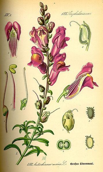 Antirrhinum majus // Boca de dragón, 1885.