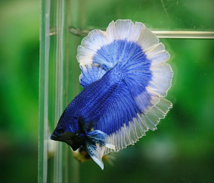 Butterfly Halfmoon Betta | Love these fish | Pinterest