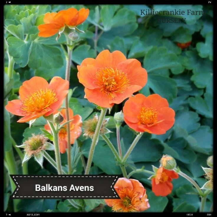 Balkans Avens (Geum x borisii)