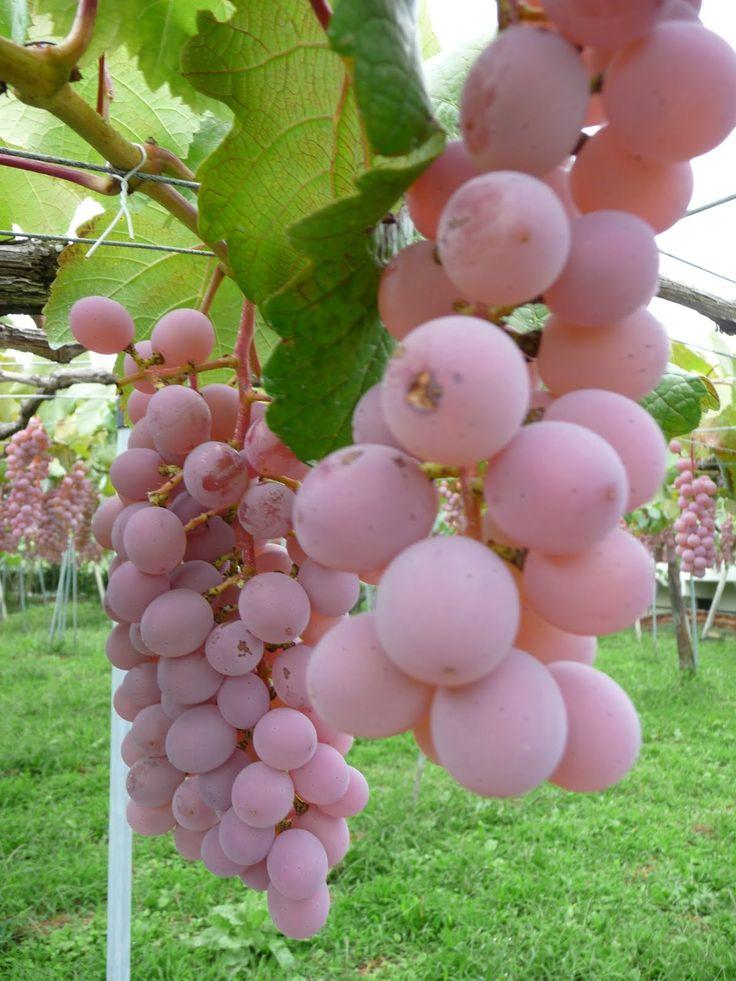 Yamanashi Grapes