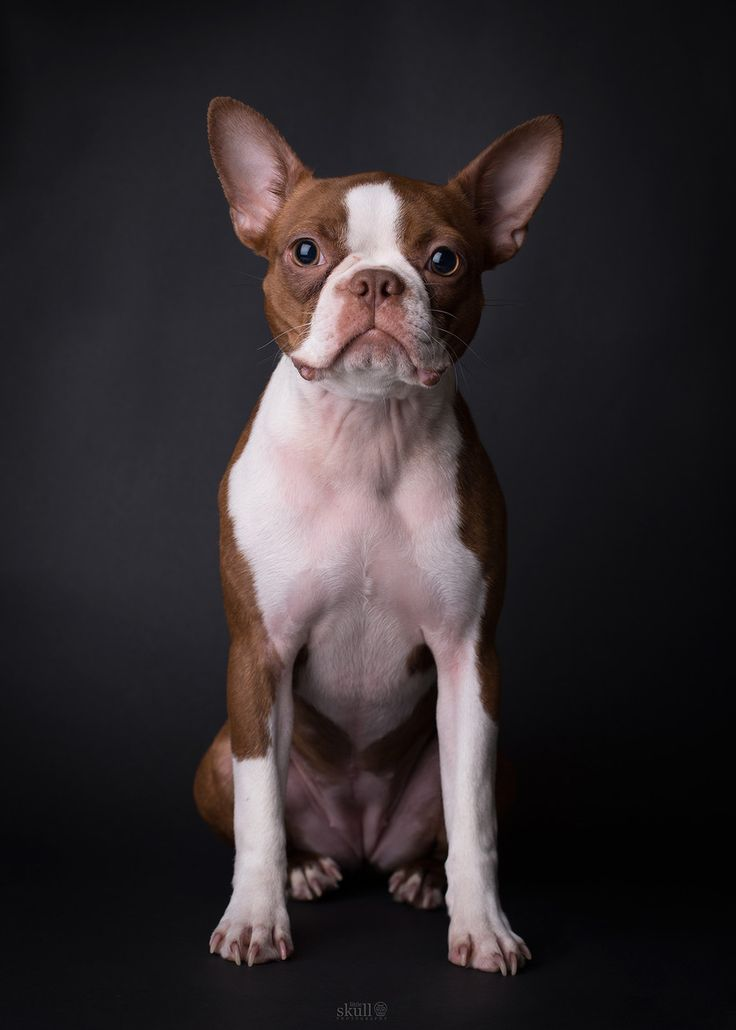 I would love to find a red Boston Terrier