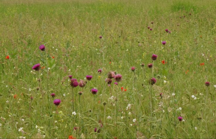 Ágasegyházai - Orgoványi-rétek növényvilága - séta a láprét felé. (Mit nekem az angolpázsit!) #nature #photography #field #flower #flowers #landscape #steppe #Hungary #Magyarország #Cumania #Kiskunság #mező #láprét #Alföld #wheat