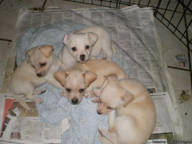 blonde chihuahua  terrier mix dogs | contact the seller edit delete place an ad price $ 100 seller kimo ...