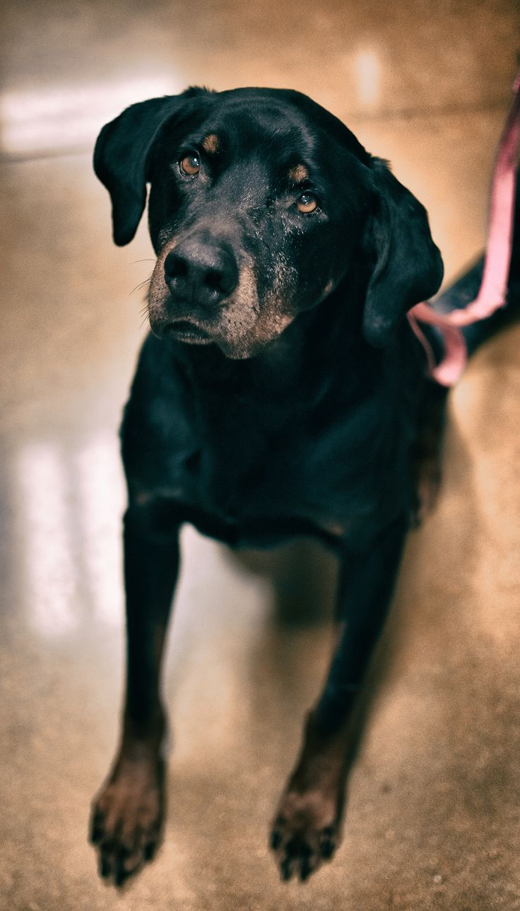 Rotterman dog for Adoption in Cincinnati, OH. ADN496528