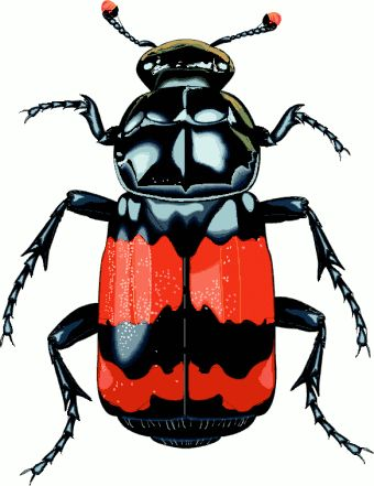 http://www.cksinfo.com/clipart/animals/insects/beetles/big-beetle.png