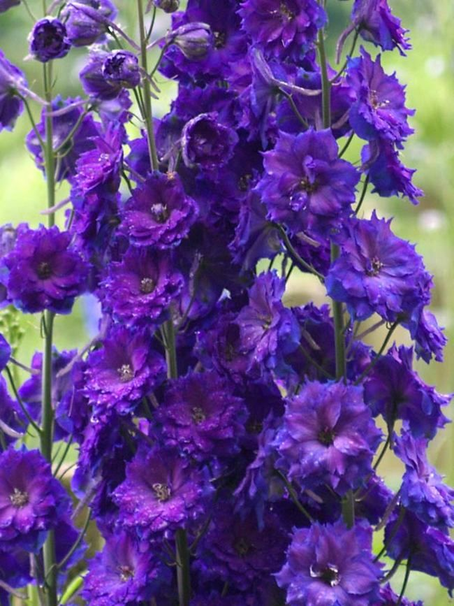 25+ best ideas about Purple perennials on Pinterest ...