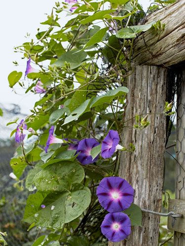 Try planting 'Heavenly Blue' morning glories to frame a #garden entrance.