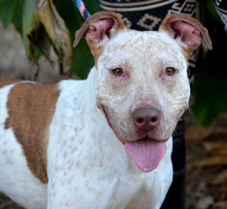 Zoe is an adoptable Cattle Dog searching for a forever family near Jackson, MS. Use Petfinder to find adoptable pets in your area.