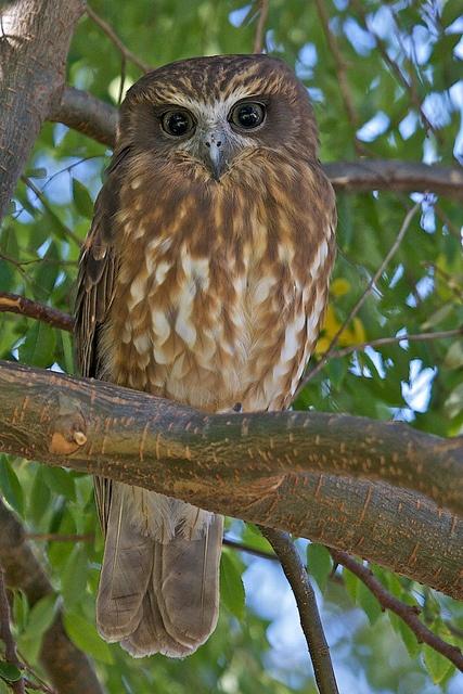 Southern Boobook Owl - Australia