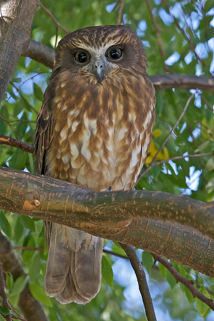Owl Baby Gifts Australia : Best images about backyard birds other visitors on