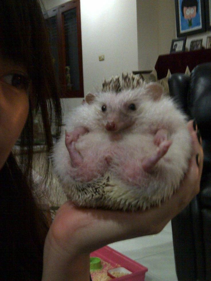 my fatty Hedghog, Mr.Button