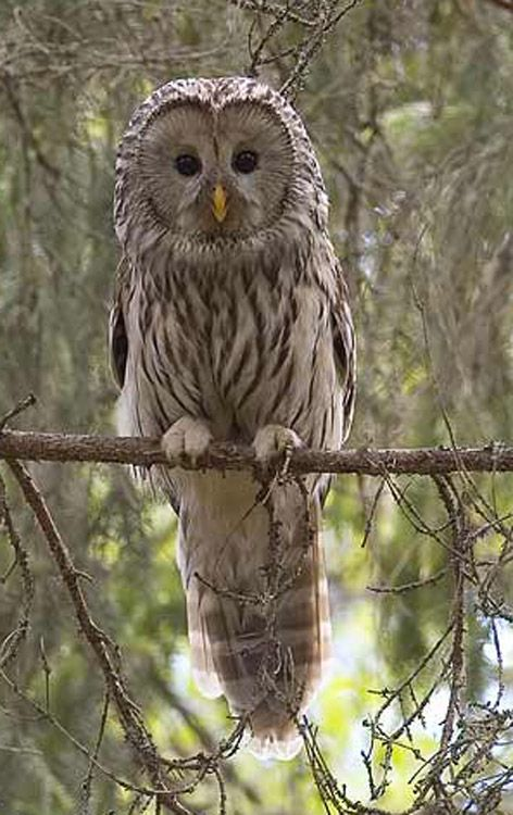 Ural owl.  This is certainly eye-catching.