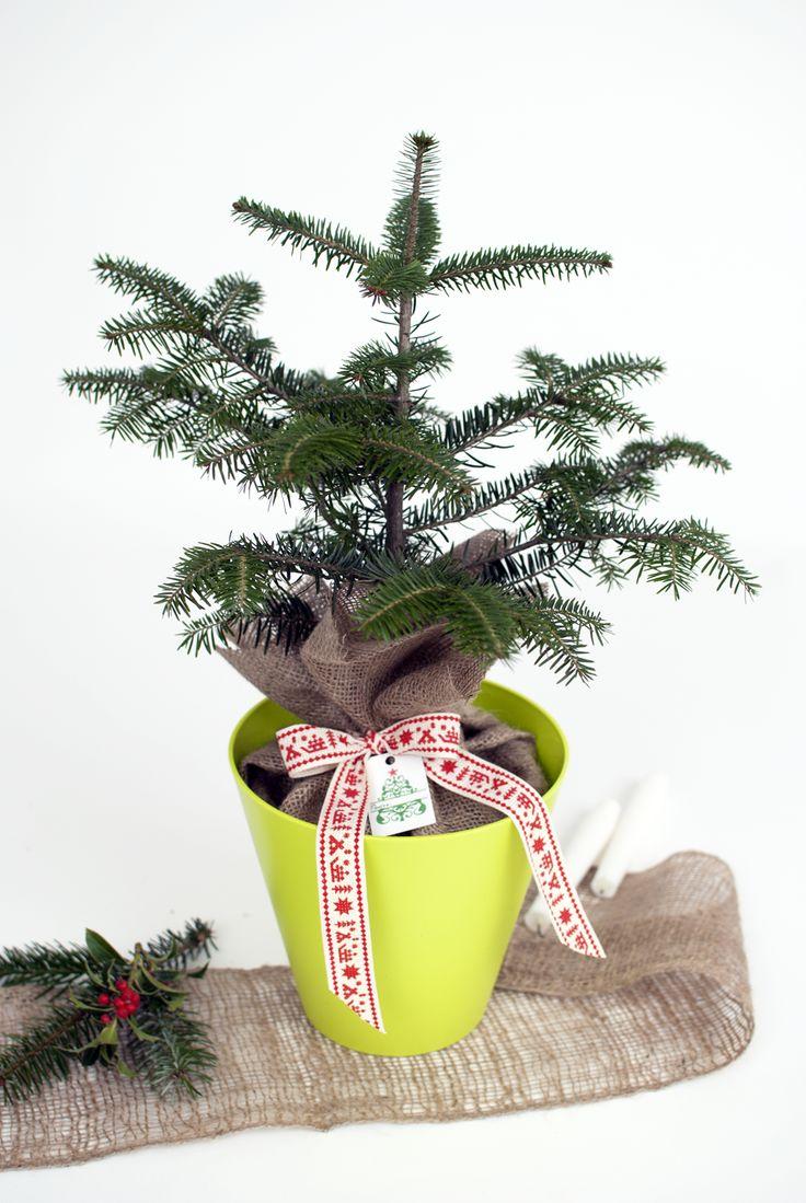 Christmas table arrangement with evergreen plants #conifers #pottedplants #christmaspot #christmasdecoration #christmasplants #christmastree #christmastabletree #christmasdecor #Christmasplantgift #braziinghiveci #bradcadou #planteCraciun