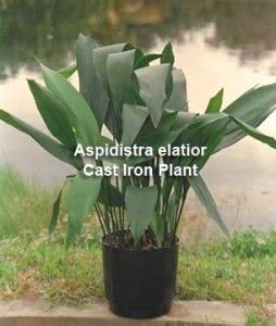 1000 Images About An Aspidistra On Pinterest Gardens