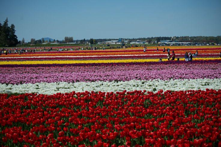 Tulip Garden Seattle USA