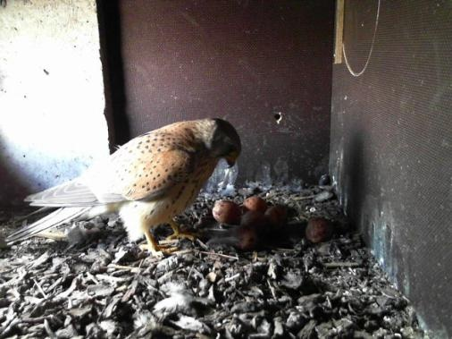 Father Falcon controlling the eggs.