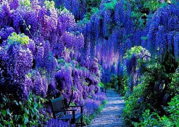 Wisteria garden kyoto japan wisteria fall pinterest Wisteria flower tunnel path in japan
