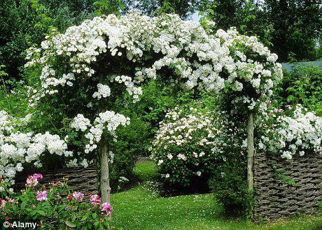 39 rambling rector 39 rose roses and more roses pinterest. Black Bedroom Furniture Sets. Home Design Ideas