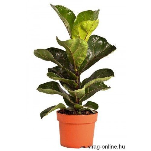 Lantlevelű Ficus 13 cm-s cserépben