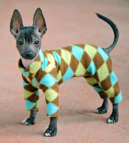 Xoloitzcuintli Puppy in PJs