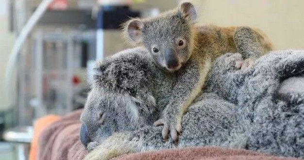 Cucciolo di Koala che commuove il web | BAU BOYS - La community per chi ama gli animali