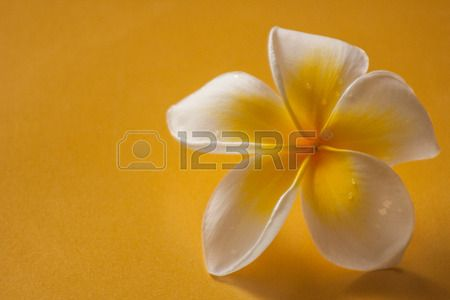 fresh frangipani with a few drops of water on petals sitting on a yellow textured background off to one side